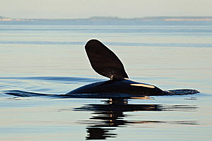 Orca (Orcinus orca) slapping pectoral flipper at the surface, likely communicating with other nearby Killer Whales. British Columbia, Canada, Pacific Ocean.  -  Brandon Cole