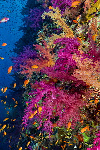 Soft corals (Dendronephthya sp.) thrive on a reef wall at 25 meters deep in Ras Mohammad National Park. The golden fish are Scalefin Anthias (Pseudanthias squammipinnis), also called Lyretail Anthias,...  -  Brandon Cole