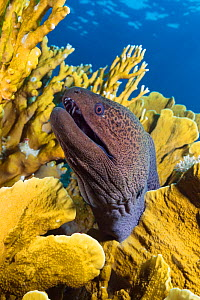 Giant moray eel (Gymnothorax javanicus), peering up from inside colony of Plate Fire Coral (Millepora platyphylla). Egypt, Red Sea.  -  Brandon Cole