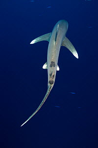 Oceanic whitetip shark (Carcharhinus longimanus), view from above as it swims away. Egypt, Red Sea.  -  Brandon Cole