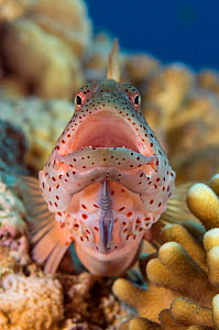 Freckled hawkfish (Paracirrhites forsteri) opening mouth wide while perched on coral. This fish grows to 9 inches in length and has several different color forms. Egypt, Red Sea.  -  Brandon Cole