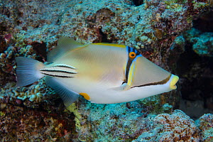 Picasso triggerfish (Rhinecanthus assasi), Egypt, Red Sea. Endemic.  -  Brandon Cole