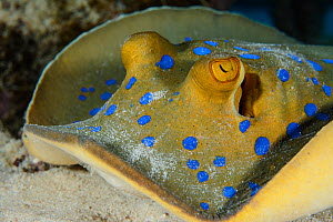 Bluespotted ribbontail ray (Taeniura lymma) Egypt, Red Sea.  -  Brandon Cole