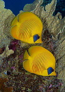 Masked butterflyfish (Chaetodon semilarvatus) Egypt, Red Sea.  -  Brandon Cole