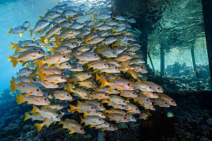Onespot snappers (Lutjanus monostigma) schooling next to pier pilings under under a dock. French Polynesia, Pacific Ocean.  -  Brandon Cole