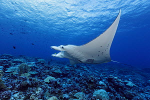 Reef manta ray (Mobula alfredi) over a coral reef. French Polynesia, Pacific Ocean.  -  Brandon Cole