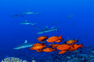 Crescent-tail bigeyes (Priacanthus hamrur), and Grey reef sharks (Carcharhinus amblyrhynchos). French Polynesia, Pacific Ocean.  -  Brandon Cole