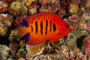 Flame angelfish (Centropyge loricula), French Polynesia, Pacific Ocean.  -  Brandon Cole
