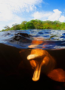 Amazon river dolphin (Inia geoffrensis) split level view showing playful dolphin with mouth open. Rio Negro, Brazil.  -  Brandon Cole
