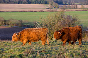 Highland cow, part of a conservation program using rare domestic breeds to graze on grassland, Danebury Hill Fort, Hampshire, UK. January.  -  TJ Rich