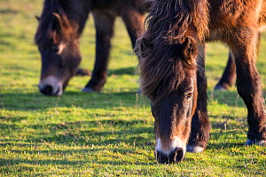 Exmoor ponies grazing, part of a conservation program using rare domestic breeds to graze on chalk grassland, Danebury Hill Fort, Hampshire, UK. January.  -  TJ Rich