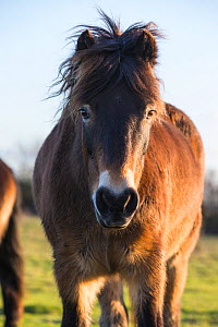 Exmoor pony, part of a conservation program using rare domestic breeds to graze on chalk grassland, Danebury Hill Fort, Hampshire, UK. January.  -  TJ Rich