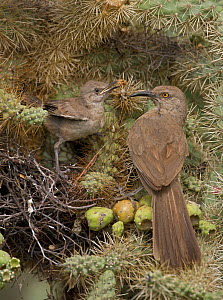 Curve-billed thrashers (Toxostoma curvirostre), adult feeding young on nest in cholla cactus, Arizona, USA. July.  -  John Cancalosi