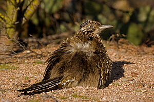 Greater roadrunner (Geococcyx californianus) sunbathing. On a cool morning they spread the feathers on their backs allowing the sun to strike the dark skin below. Arizona, USA, February.  -  John Cancalosi