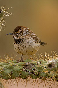 Cactus wren (Campylorhnchus brunneicapillus) perched on Cholla cactus (Opuntia spp.) Sonoran Desert, Arizona, USA. February.  -  John Cancalosi