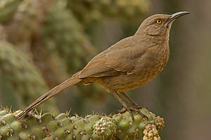 Curve-billed thrasher (Toxostoma curvirostre), Arizona, USA, February.  -  John Cancalosi