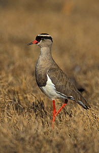 Crowned plover (Vanellus coronatus), South Africa  -  John Cancalosi
