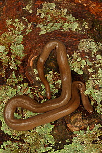 Northern rubber boa (Charina bottae) , Oregon, USA.  -  John Cancalosi