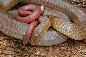 Northern rubber boa snake (Charina bottae) with its newborn baby , Oregon, USA. Captive  -  John Cancalosi