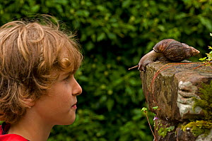 Boy observing Giant African land snail (Achatina fulica), England, UK. Captive. Model released  -  John Cancalosi