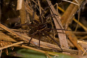 Fen raft spider (Dolomedes plantarius), female guarding babies in nursery web, England, UK, Endangered species  -  John Cancalosi