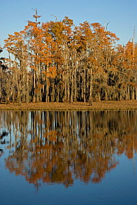 Bald Cypress trees with autumn reflections in swamp (Taxodium distichum), Louisiana, USA,  -  John Cancalosi