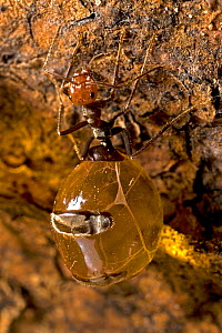 Honey pot ant (Myrmecocystus spp) with engorged gasters, living food storage, in the colony. Arizona, USA. August.  -  John Cancalosi