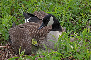 Canada Goose (Branta canadensis) on nest with goslings, New York, USA.  -  John Cancalosi