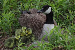 Canada goose (Branta canadensis) on nest with goslings, New York, USA  -  John Cancalosi