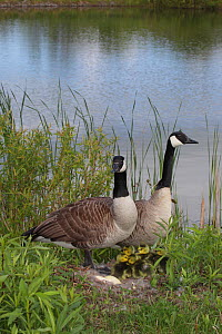 Canada goose (Branta canadensis) pair on nest with goslings, New York, USA  -  John Cancalosi