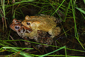 American toad (Bufo americanus) pair in amplexus , New York, USA  -  John Cancalosi
