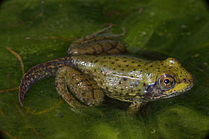 Green Frog (Rana clamitans) nearly metamorphosed frog showing remnants of tadpole tail, New York, USA  -  John Cancalosi