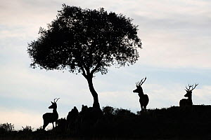 Red deer stags (Cervus elaphus) and a Holm oak tree (Quercus ilex) silhouetted Parque Natural Sierra de Andujar, Andalucia, Spain. January.  -  Staffan Widstrand