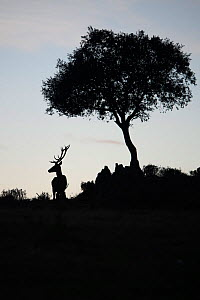 Red deer stag (Cervus elaphus) and a Holm oak tree (Quercus ilex) silhouetted Parque Natural Sierra de Andujar, Andalucia, Spain. January.  -  Staffan Widstrand
