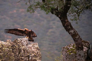 Golden eagle (Aquila chrysaetos) landing on rock, Parque Natural Sierra de Andujar, Andalucia, Spain. January.  -  Staffan Widstrand