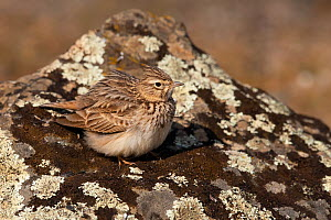 Thekla's lark (Galerida theklae) with feathers fluffed up on lichen-covered rock, Parque Natural Sierra de Andujar, Andalucia, Spain. January.  -  Staffan Widstrand