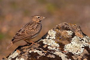 Thekla's lark (Galerida theklae) with crest down on lichen-covered rock, Parque Natural Sierra de Andujar, Andalucia, Spain. January.  -  Staffan Widstrand