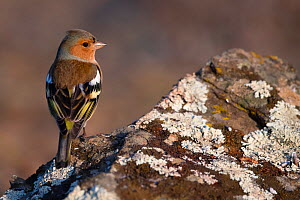 Chaffinch (Fringilla coelebs) on lichen-covered rock, Parque Natural Sierra de Andujar, Andalucia, Spain. January.  -  Staffan Widstrand