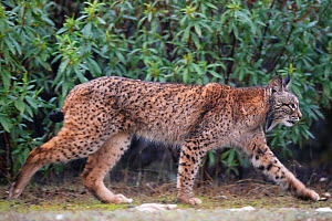 RF - Iberian lynx (Lynx pardinus) Parque Natural Sierra de Andujar, Andalucia, Spain. January. (This image may be licensed either as rights managed or royalty free.)  -  Staffan Widstrand