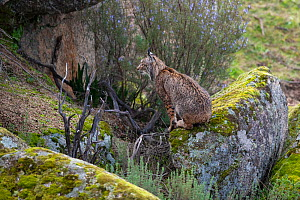 RF - Iberian lynx (Lynx pardinus) sitting, camouflaged against rocks, Parque Natural Sierra de Andujar, Andalucia, Spain. January. (This image may be licensed either as rights managed or royalty free....  -  Staffan Widstrand