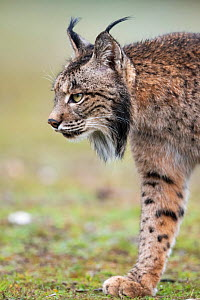 RF - Iberian lynx (Lynx pardinus) walking, Parque Natural Sierra de Andujar, Andalucia, Spain. January. (This image may be licensed either as rights managed or royalty free.)  -  Staffan Widstrand