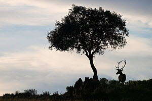 RF - Red deer stag (Cervus elaphus) and a Holm oak tree (Quercus ilex) silhouetted, Parque Natural Sierra de Andujar, Andalucia, Spain. January.  (This image may be licensed either as rights managed...  -  Staffan Widstrand