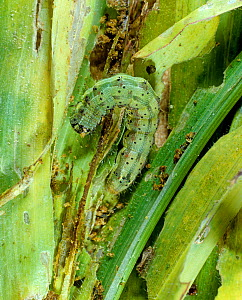 Cotton bollworm / Tomato fruitworm (Helicoverpa zea) caterpillar feeding on young maize foliage, North Carolina, USA, October  -  Nigel Cattlin