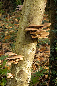 Cultivated oyster mushroom (Pleurotus ostreatus) growing on a beech log after incubation, Devon England, UK, November  -  Nigel Cattlin