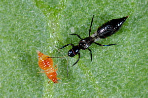 Predatory thrips (Franklinothrips vespiformis) larva and adult used for biological pest control of thrips in protected crops  -  Nigel Cattlin