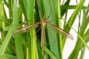 Crane fly (Tipula oleracea) adult on meadow grass during a hatching cycle, Devon, England, UK, June  -  Nigel Cattlin