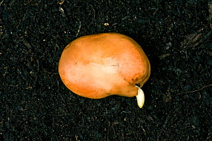 A broad bean seed (Vicia faba) germinating, radicle (root) just emerging from seed coat  -  Nigel Cattlin
