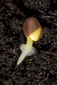 A germinating cabbage (Brassica oleracea) seed on soil with main root and root hairs developing from split seed coat  -  Nigel Cattlin