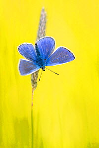 Male common blue butterfly (Polyommatus icarus) basking wings open on grass, Vealand Farm, Devon, UK. June.  -  Ross Hoddinott