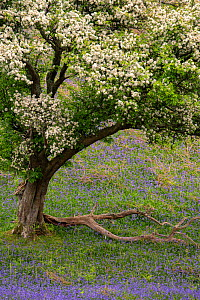 Hawthorn tree (Crataegus monogyna) in blossom and bluebells (Hyacinthoides non-scripta), The Lake District, Cumbria, May.  -  Ross Hoddinott